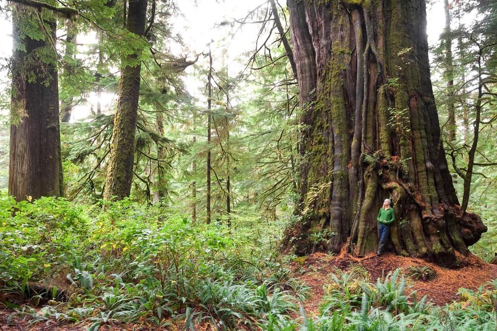 cheewhat-cedar-canadas-largest-tree